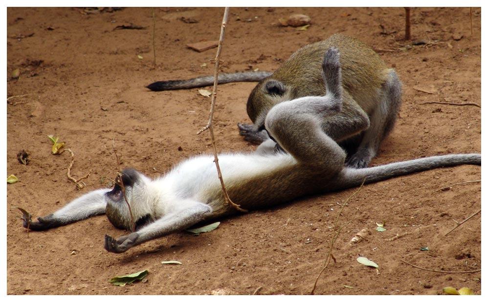 Секс с мавпами.