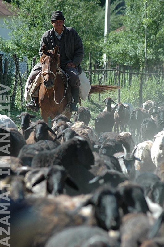 Чабан и отара коз и овец в селе Карасуу