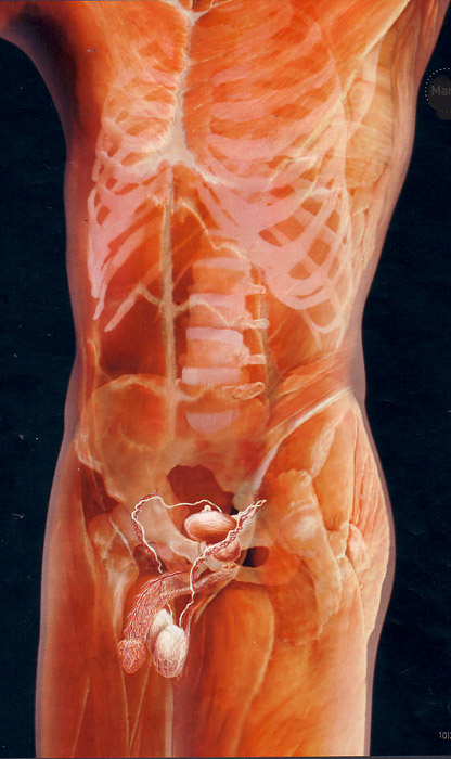 мужской фото орган