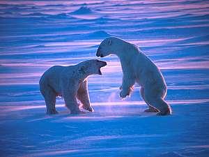 Фотографии животных :: Белые медведи фото 7.
