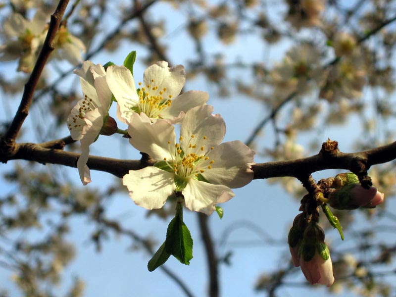 кира алемасова как цветущий миндаль типу