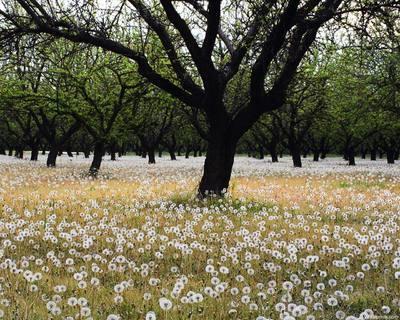 Lãng mạn hoa Bồ Công Anh - by Famj - Yobanbe Dandelion_field