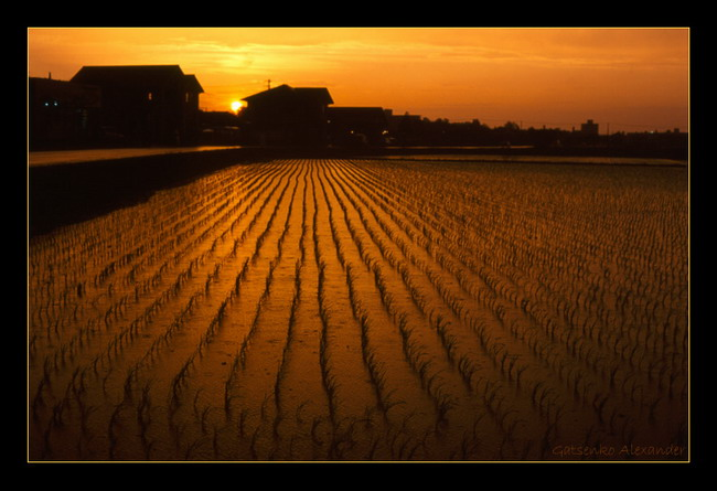 Рисовые поля Sunset-riceII