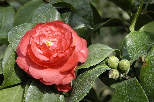 Камелия на языке цветов