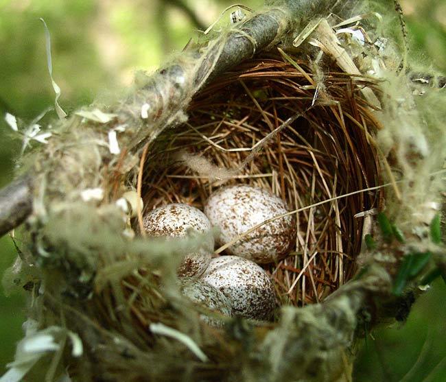 4 яйца воловьих птиц в недостроенном гнезде пеночки