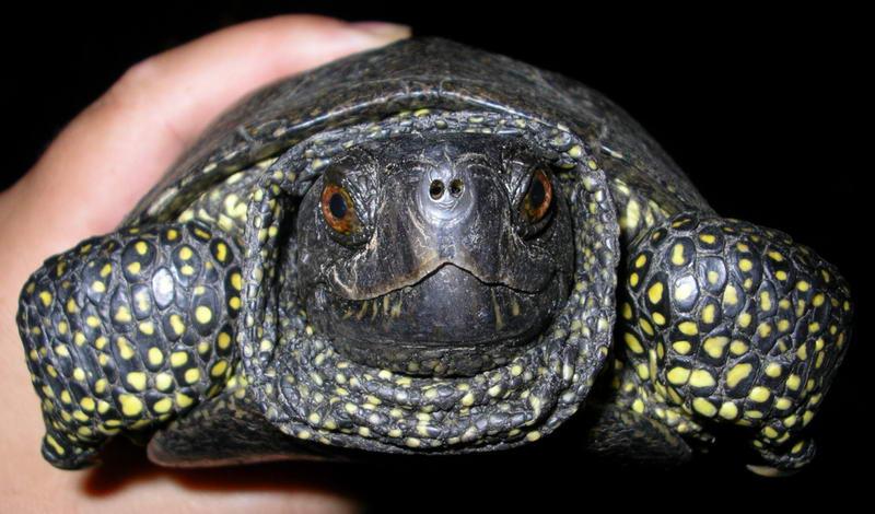 Черепаху речную в домашних условиях
