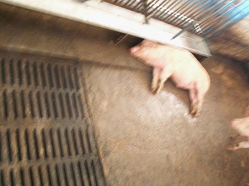 свинья на отдыхе