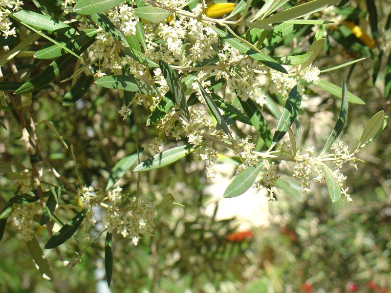 маслина и оливка в чем разница фото