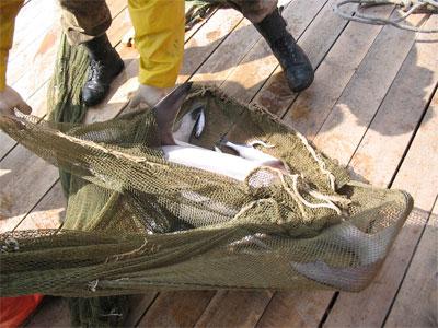 """В Питере поймали настоящую акулу (11 фото)  """" SwTeam.info."""