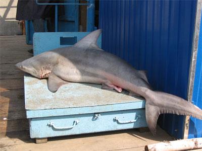 В центре Петербурга поймали акулу (ФОТО)