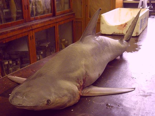 В Неве поймали акулу (13 фото + видео)