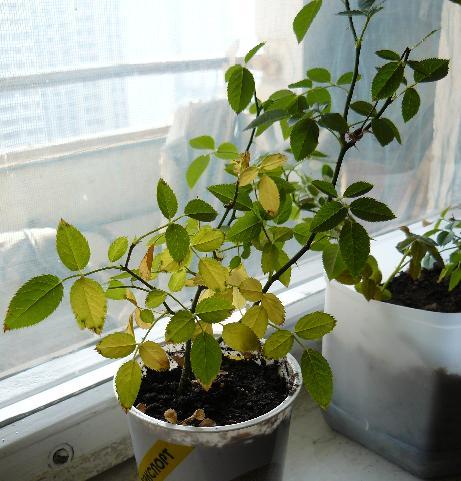 Почему опадают и желтеют листья у комнатной розы