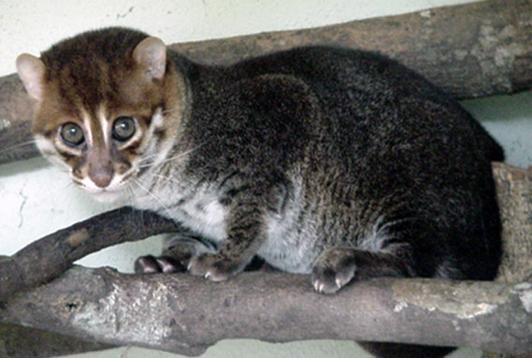 Картинки по запросу плоскоголовая кошка