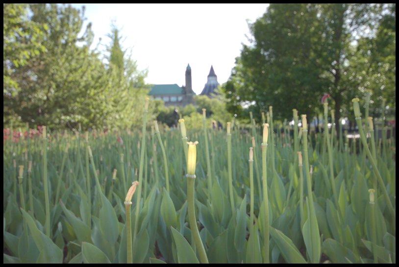 Кладбище тюльпанов by Magon
