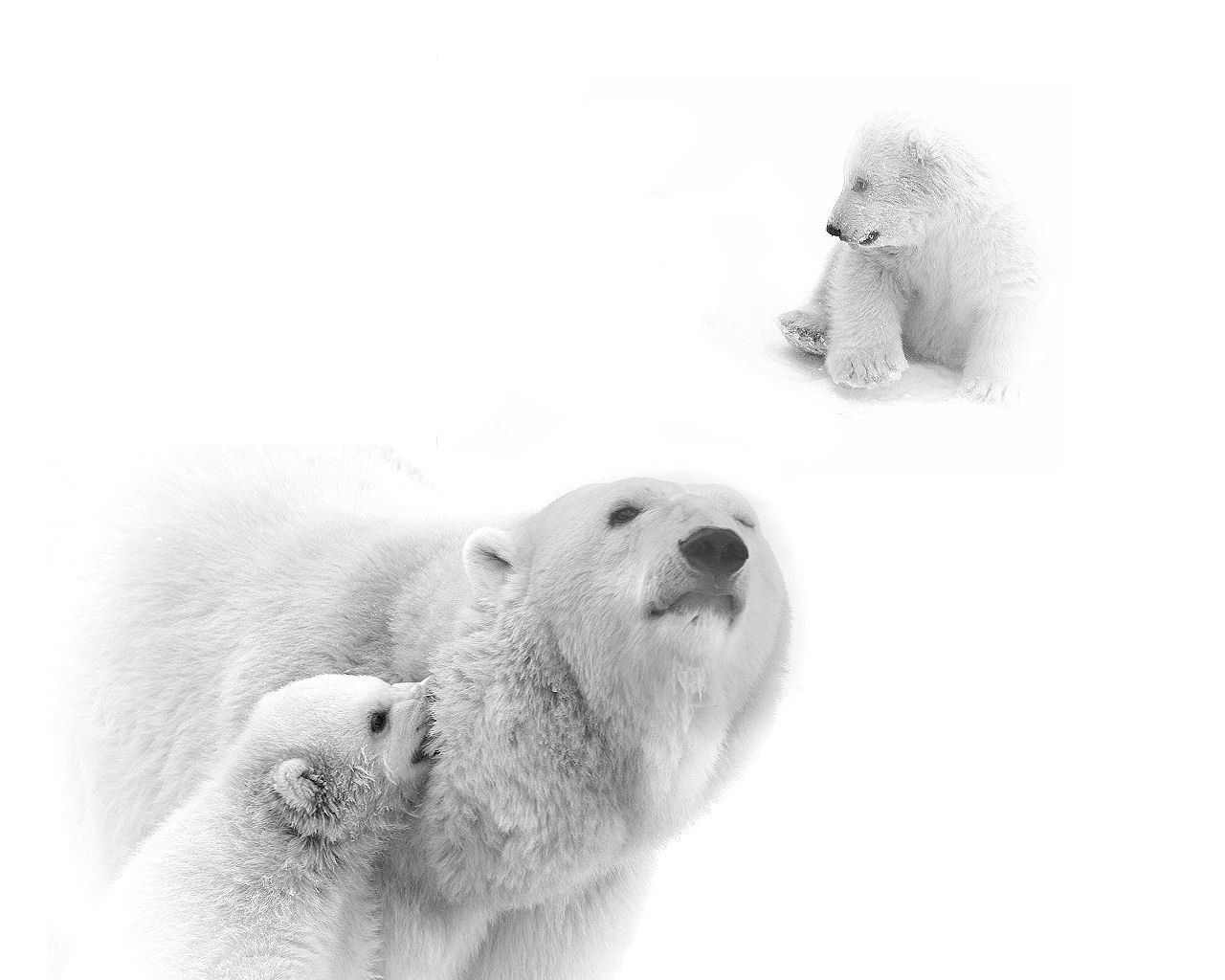 the polar bear thalarctos maritimus Synonyms for polar bear in english including definitions, and related words.