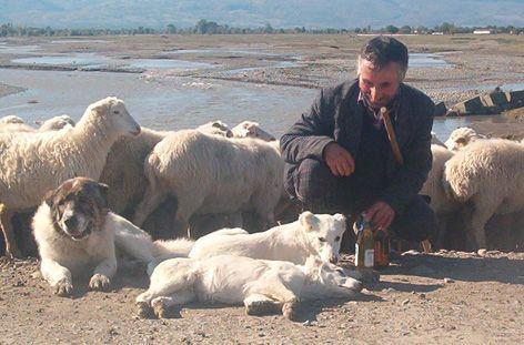 Пастушьи собаки Грузии - Страница 3 Ko_geo_1