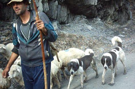 Пастушьи собаки Грузии - Страница 3 Ko_geo_10