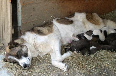 Пастушьи собаки Грузии - Страница 3 Ko_geo_17
