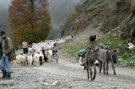 Пастушьи собаки Грузии - Страница 3 Ko_geo_18