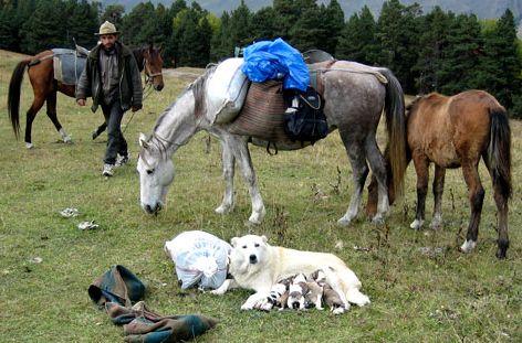 Пастушьи собаки Грузии - Страница 3 Ko_geo_2