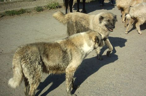 Пастушьи собаки Грузии - Страница 3 Ko_geo_20
