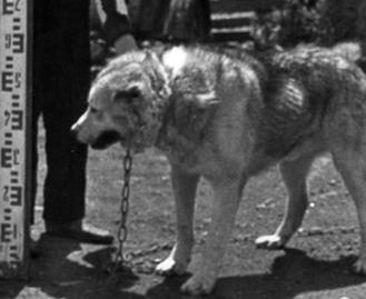 Пастушьи собаки Грузии - Страница 3 Ko_geo_old70_1