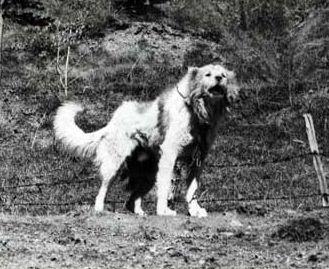 Пастушьи собаки Грузии - Страница 3 Ko_geo_old70_2
