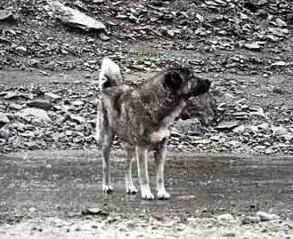 Пастушьи собаки Грузии - Страница 3 Ko_geo_old70_3
