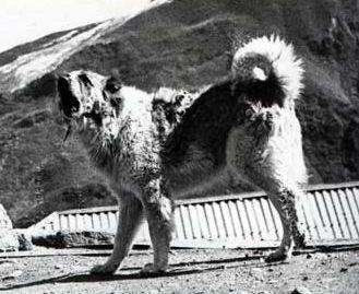 Пастушьи собаки Грузии - Страница 3 Ko_geo_old70_4