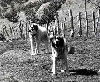 Пастушьи собаки Грузии - Страница 3 Ko_geo_old70_5