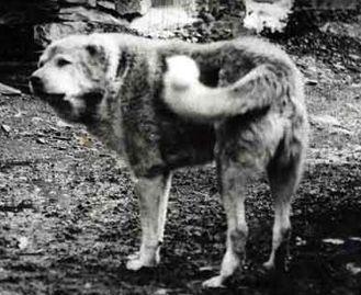 Пастушьи собаки Грузии - Страница 3 Ko_geo_old70_6