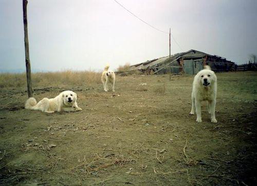 Пастушьи собаки Грузии - Страница 3 W_ko_1
