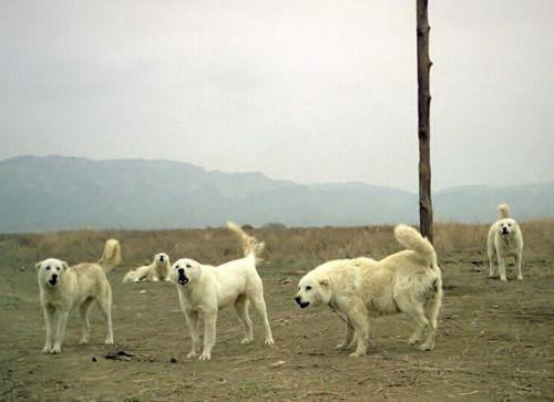 Пастушьи собаки Грузии - Страница 3 W_ko_2