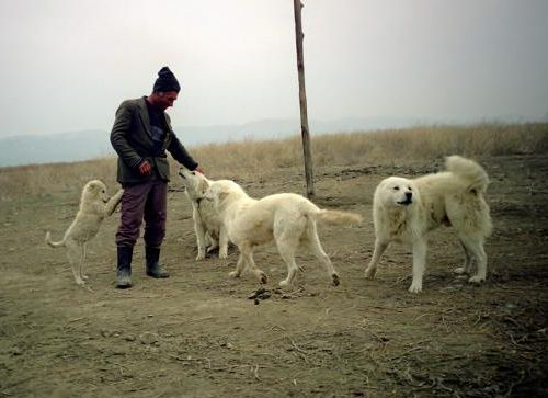 Пастушьи собаки Грузии - Страница 3 W_ko_3