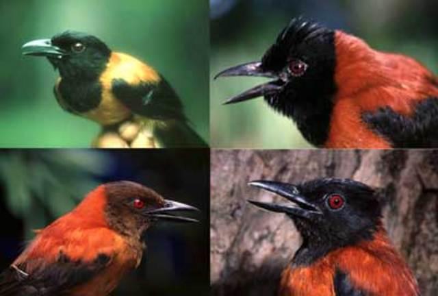 Питохуй птица
