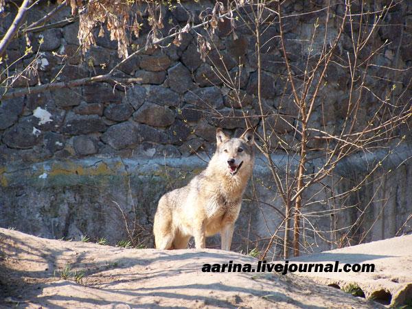 киевский волк