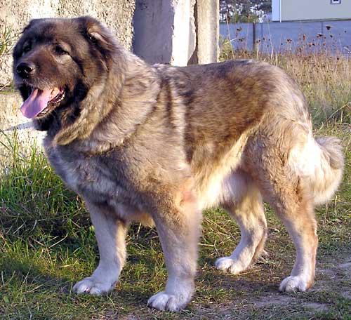 алтайская овчарка: уши овчарки, купить немецкую овчарку в москве.