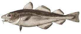 фото рыба треска