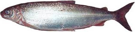 СИГ - Рыба Кольского полуострова