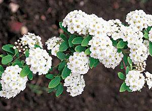 Виды спирея альпийская spiraea alpina спирея