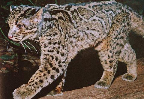 http://www.ljplus.ru/img4/c/r/crazy_zoologist/marbled_cat_pic.jpg