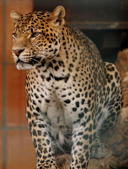 leopard and jaguar hybrid -#main