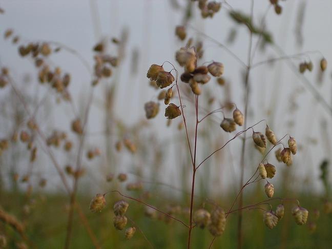 Кукушкины слёзки цветок