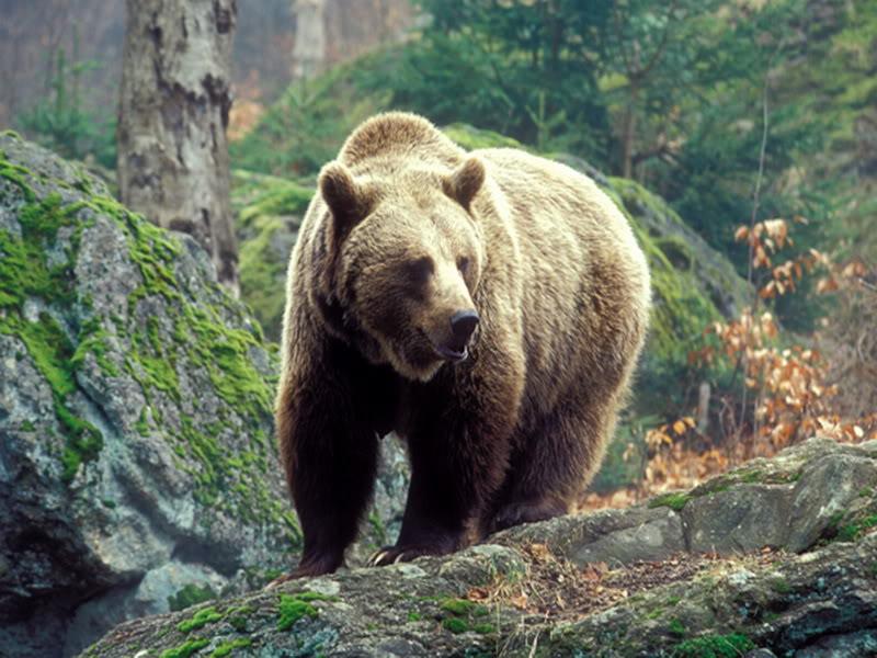 бурый медведь рисунок