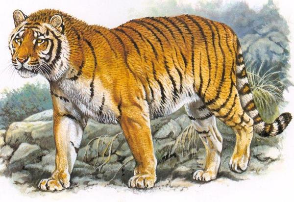 Caspian Tiger   www.imgkid.com - The Image Kid Has It!
