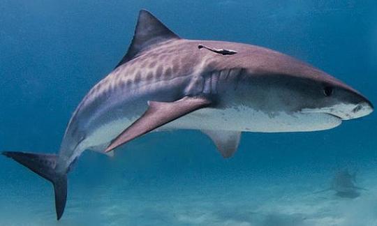 http://www.ljplus.ru/img4/d/o/doctor_insulin/tiger_shark.jpg