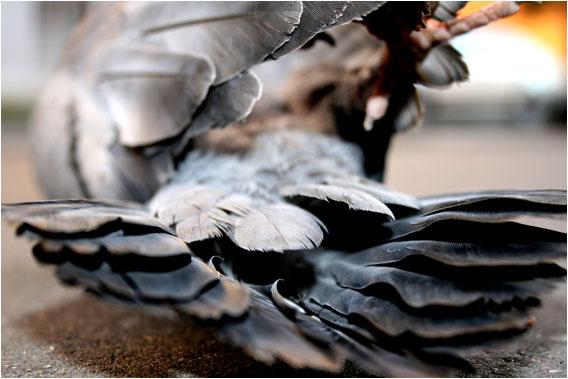 photo by Kazakov Maksim. Pigeon