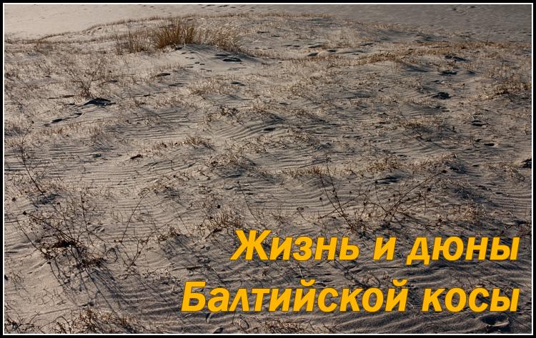 Жизнь и дюны Балтийской косы