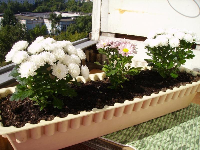 Балконные цветы - эндорфины - это всё, что нужно человеку дл.