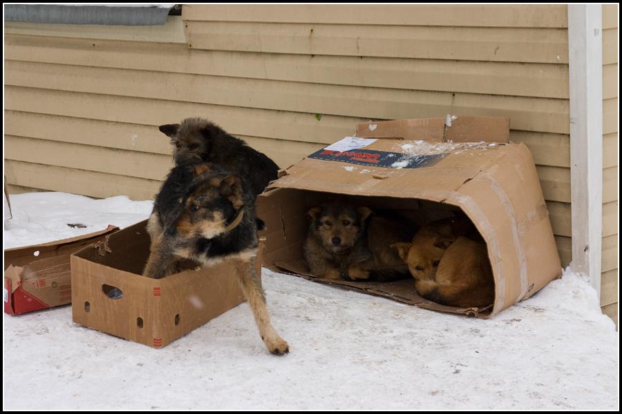 Собаки Холмска